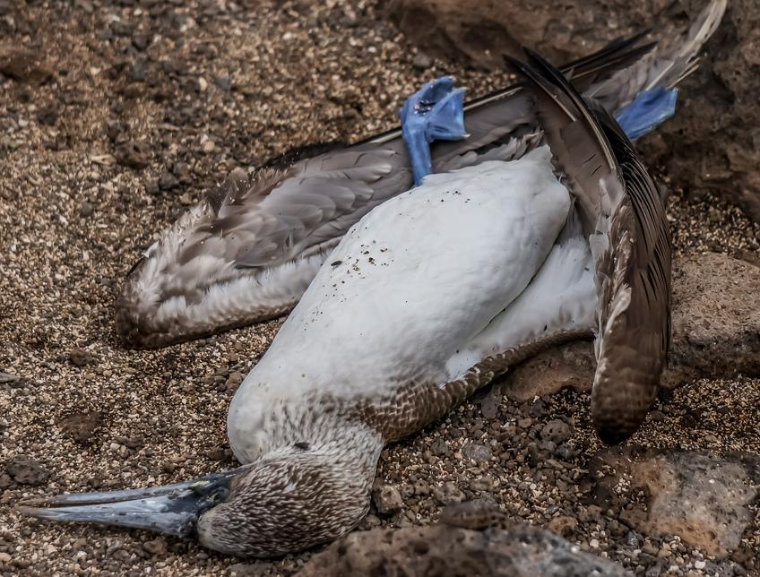 Click image for larger version.  Name:20140510094939-Dead_Blue_footed_Booby_on_Seymour.jpg Views:1374 Size:178.2 KB ID:7393826