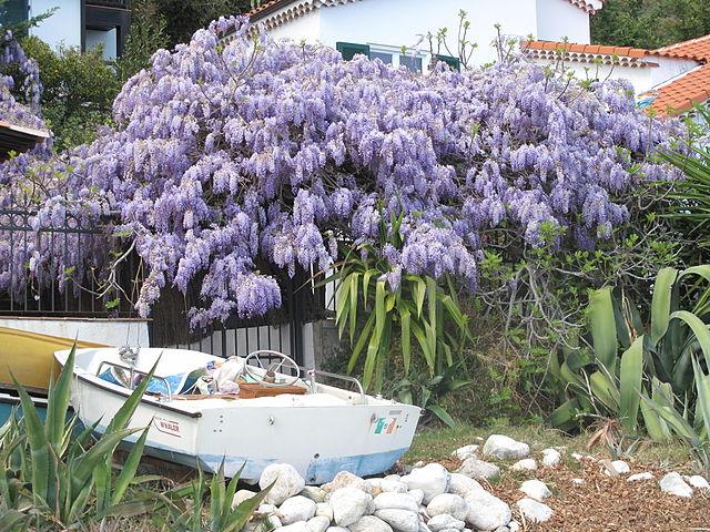Name:  640px-Wisteria_at_Roquebrune.jpg Views: 349 Size:  125.9 KB