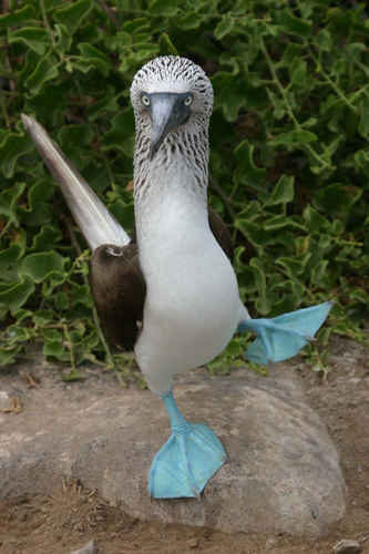 Name:  bluefooted-booby.jpg Views: 1179 Size:  139.5 KB