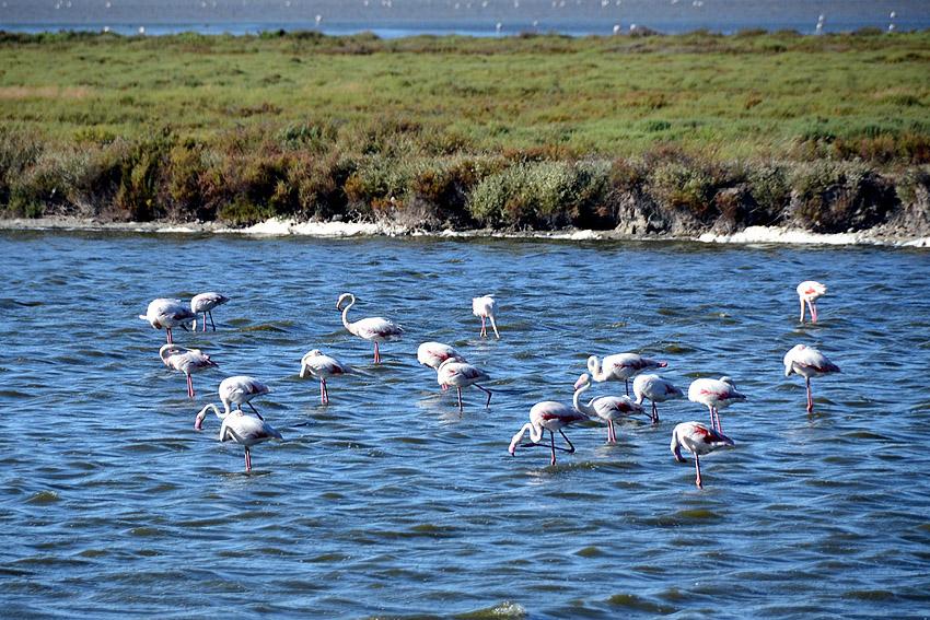 Name:  duzo flamingow miejscowych.jpg Views: 451 Size:  251.4 KB