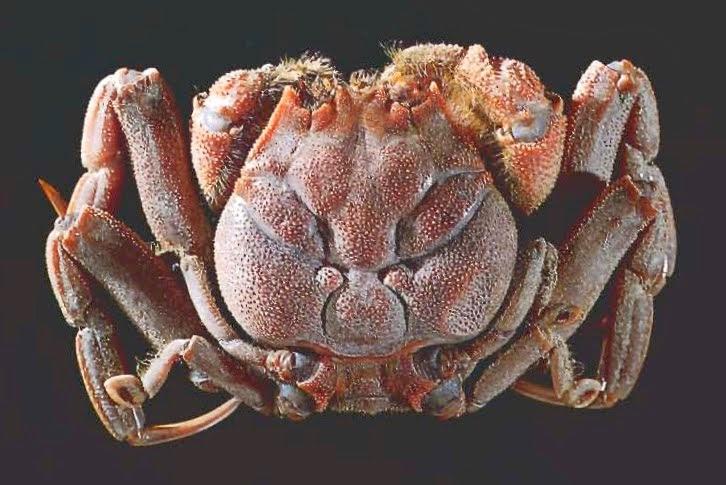 Name:  Heike Crab 2.jpg Views: 8650 Size:  84.8 KB