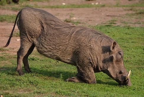Name:  hog-on-knees.jpg Views: 76 Size:  174.8 KB