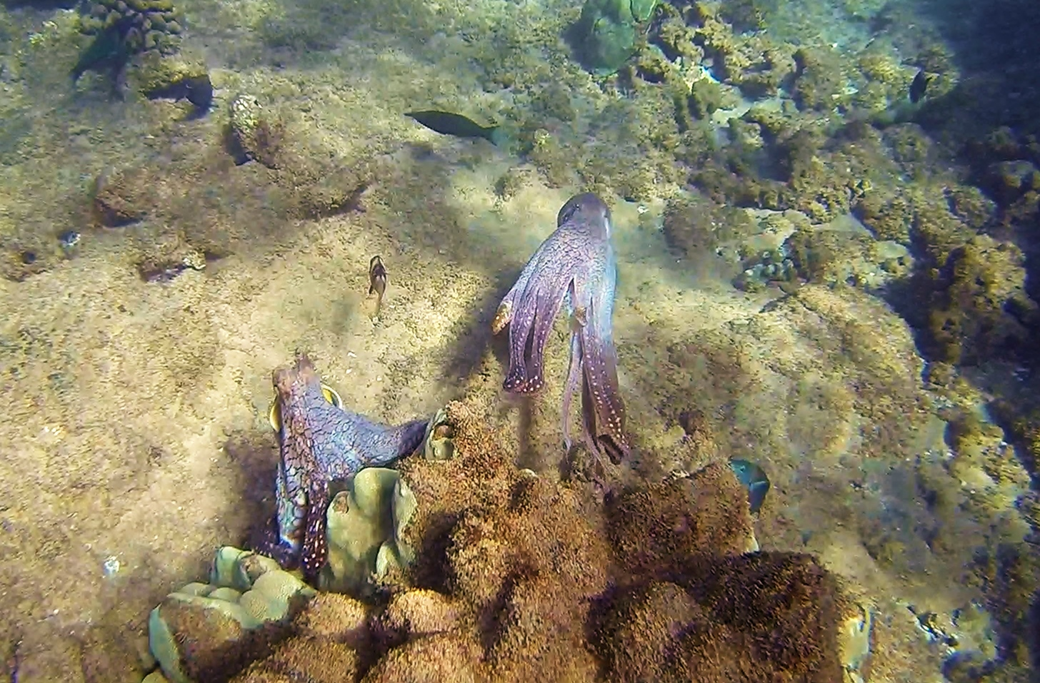 Name:  Octopus maui (2).jpg