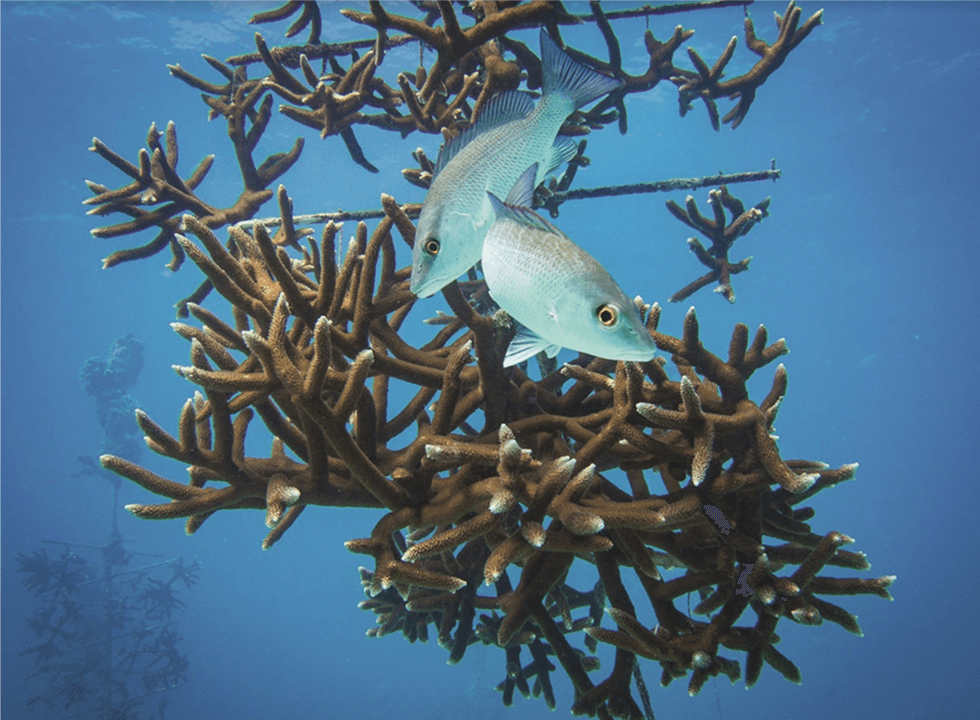 Oris Carysfort Reef